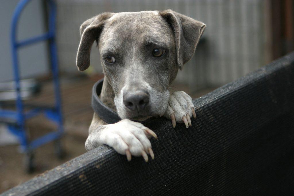 sad looking blue brindle dog