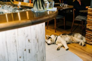 husky sleeping at work desk