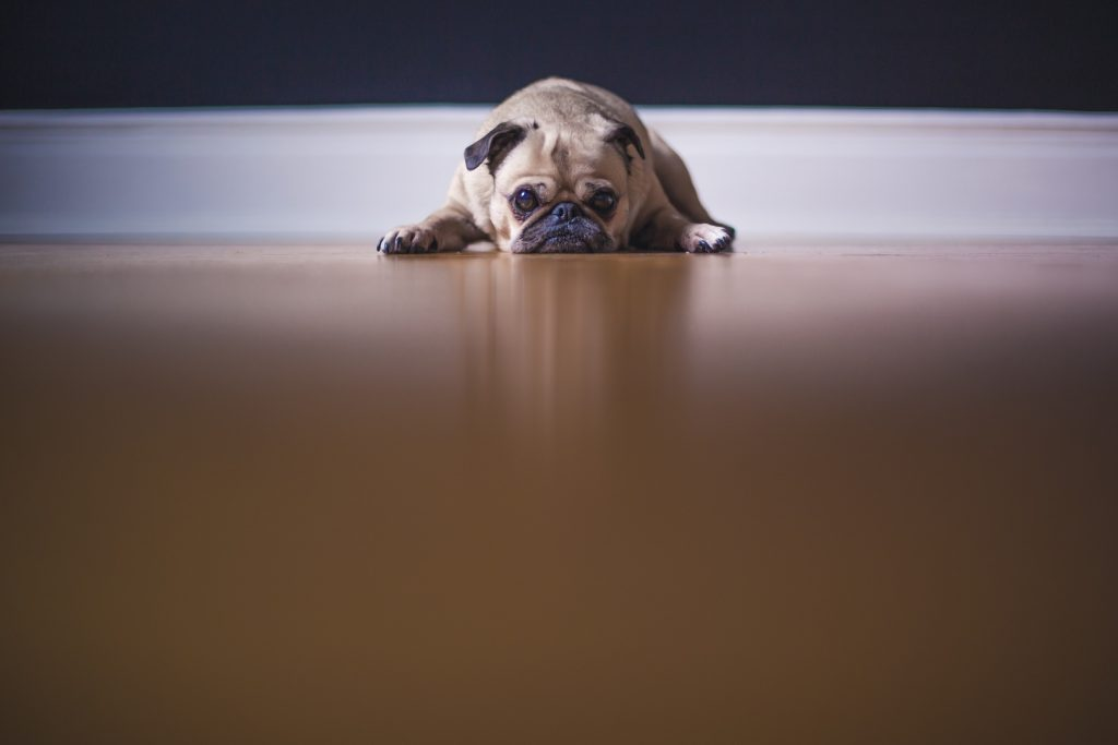 sad looking dog laying down