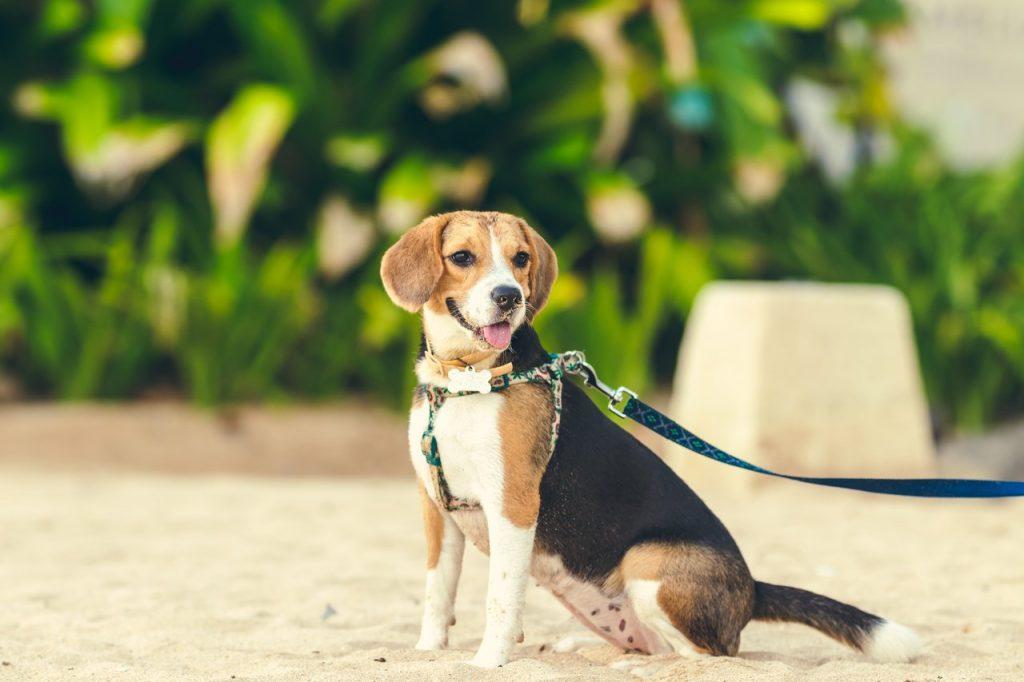 Beagle on a leash