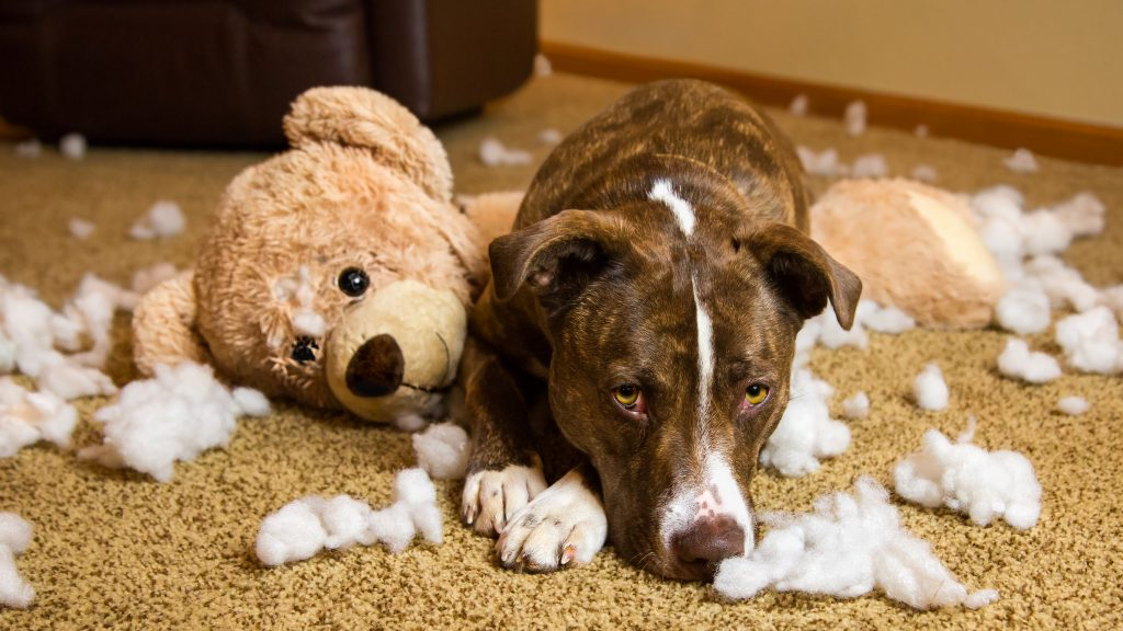 cute dog laying with chewed up teddy bear