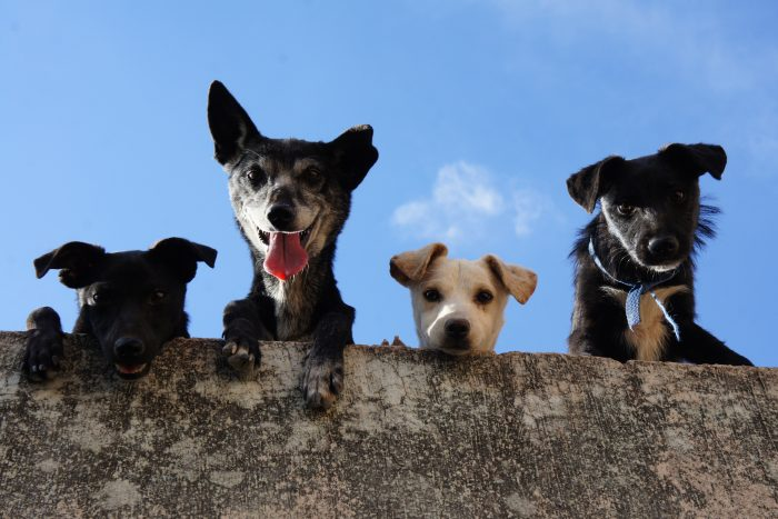 4 dogs looking over a wall
