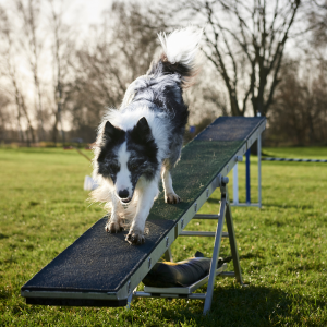 dog on a see saw